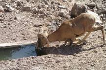 خشکسالی حیات وحش را به مناطق مسکونی سیستان و بلوچستان کشاند