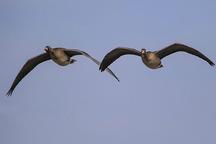 6 هزار پرنده مهاجر به تالاب میقان اراک وارد شده اند