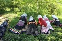 برگ سبز بهاری باغات چای در شرق گیلان آماده برداشت شد