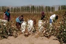 محصول پنبه کاران خراسان شمالی به صورت تضمینی خریداری می شود