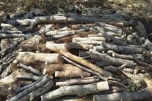 1.5 تن چوب تاغ قاچاق در خراسان شمالی کشف شد