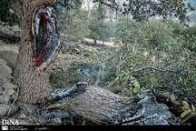 مهار آتش سوزی در جنگل های سالند کوه دزفول