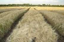 9 هزار و 789 تن جو از کشاورزان قزوینی خریداری شد