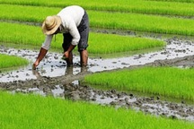 خسارت کشاورزان تالش از صندوق بیمه جبران می شود