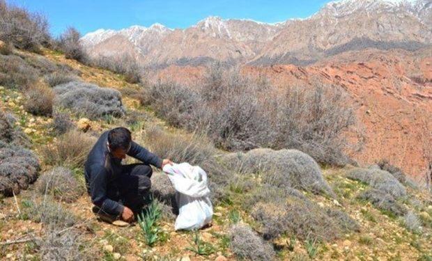 بهره برداری ازگیاهان دارویی و صنعتی در مهریز ممنوع شد
