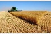 میزان تولید گندم درفردیس 21 درصد افزایش می یابد