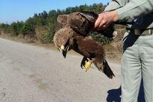 تحویل یک عقاب جنگلی مصدوم به اداره حفاظت محیط زیست آستارا