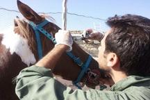 واحدهای پرورش اسب قزوین عاری از هرگونه بیماری مشمشه هستند