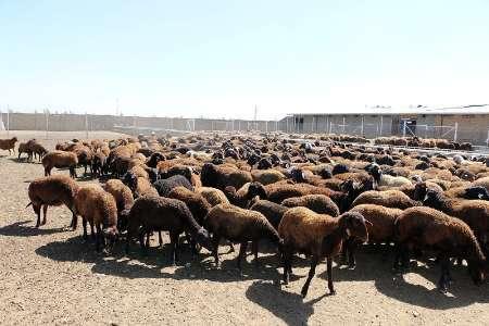 بهره برداری از بزرگترین مرکزتولید منابع ژنی گوسفند افشاری کشور در زنجان
