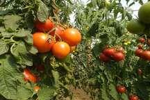 73 هزار تن گوجه فرنگی از مزارع پارس آباد مغان برداشت می شود