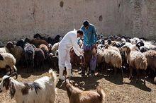 دام های سبزوار علیه تب مالت واکسینه شدند