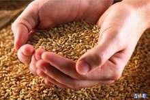 تعیین تکلیف 2 هزار تن جو تولیدی ورامین برای فروش در بورس