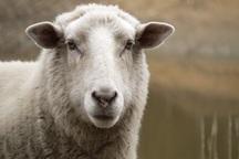 زاهدان گردیِ گوسفندان میلیون تومانی در آستانه عید قربان