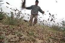 مبارزه با ملخ مراکشی در باغهای طارم انجام شد