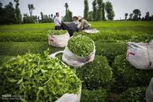 برداشت چای از باغ های  شمال پایان یافت