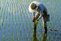 استقبال مازندران از اختصاصی شدن کشت برنج