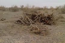 بیش از سه هزار کیلوگرم چوب تاغ قاچاق در دامغان کشف شد