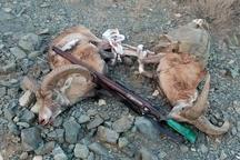 محکومیت شکارچی دو رأس بز وحشی در گچساران به 7 ماه حبس