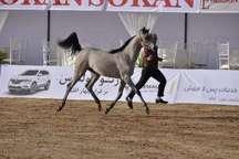 برترین های روز دوم جشنواره زیبایی اسب اصیل ایران معرفی شدند