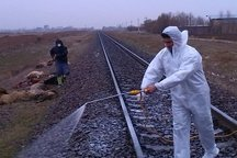 **اتلاف 57 راس دام در برخورد با قطار مسافربری در قزوین