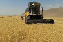 پیش بینی برداشت بیش از 14هزار تن گندم از مزارع شهرستان قاینات