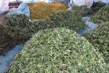 گیاهان کوهی دامنه سهند؛ زینت بخش سفره ها و سرشار از خواص دارویی