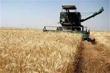 100تن گندم از کشاورزان دیلمانخریداری شد