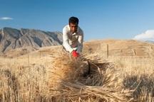 کشت سنتی بازده تولید گندم در آذربایجان غربی را کاهش داده است
