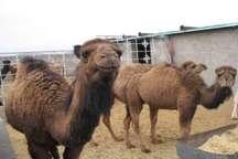 تدوین سند توسعه پرورش شتر از روش سنتی به صنعتی در سیستان و بلوچستان