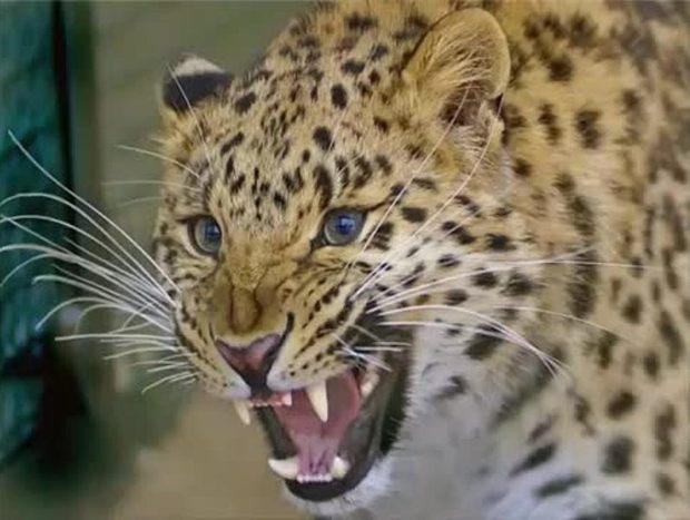 هشت قلاده یوزپلنگ ایرانی در کوه حفاظت شده بافق شناسایی شد