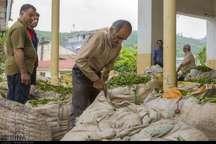 95 درصد مطالبات چایکاران سیاهکل پرداخت شد