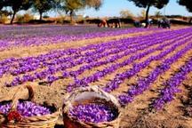 ارزش اقتصادی زعفران خراسان شمالی 15 درصد تولیدات باغی است