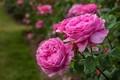 باغ گل محمدی در رودان احداث شد
