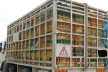 ۱۳۳۰ قطعه مرغ زنده فاقد مجوز دامپزشکی در بوکان ضبط شد