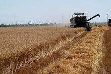 47 هزار تن گندم و جو در خمین برداشت شد