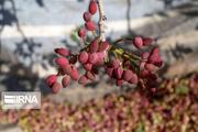 افزون بر ۲۴۰ تن پسته از باغهای جنوبکرمان برداشت شد
