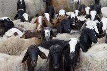 سارق 29 راس گوسفند در گنبدکاووس دستگیر شد