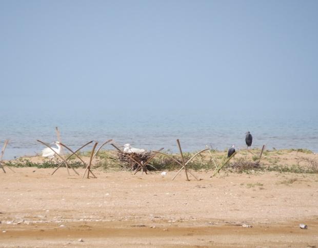 آشیانه سازی برای پرندگان زادآور در جزایر استان بوشهرانجام شد