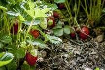 برداشت توت فرنگی از 25 هکتار مزارع سردشت آغاز شد