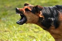 2600 همدانی مورد گزش سگ قرار گرفتند
