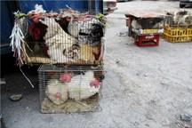 عرضه مرغ زنده در شادگان ممنوع است