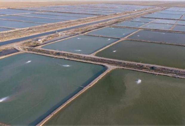 احداث ۴ هزار هکتار استخر جدید پرورش میگو در بوشهر آغاز شده است