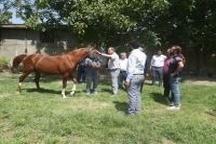 وجود 2هزارراس اسب در لرستان  اصلاح نژاد اسبها در دستور کار هیئت اسب سواری