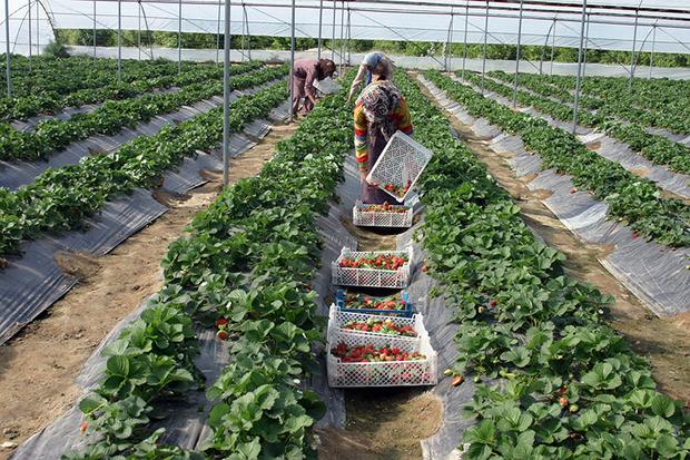 خاش قطب مهم تولید محصولات گلخانه ای سیستان و بلوچستان