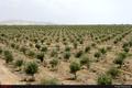 بزرگترین باغ زیتون کشور در پاکدشت به بهره برداری رسید