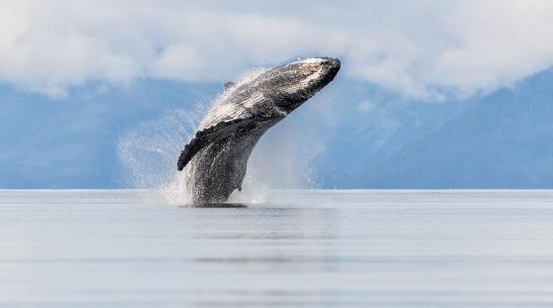 عکس روز نشنال جئوگرافیک؛ پرش تماشایی نهنگ