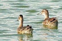 ورود پیش قراولان پرندگان مهاجر به تالاب استیل آستارا