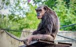 شامپانزه ها هم آلزایمر می گیرند!
