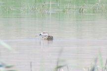 مشاهده یک گونه پرنده حمایت شده برای اولین بار در تالاب گندمان چهارمحال و بختیاری