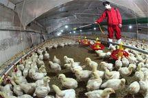 مدیرکل دامپزشکی: صنعت طیور مازندران پاک از آنفلوانزا مرغی است